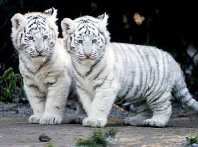 Awwww ! Ça marche aussi avec les bébés tigres !