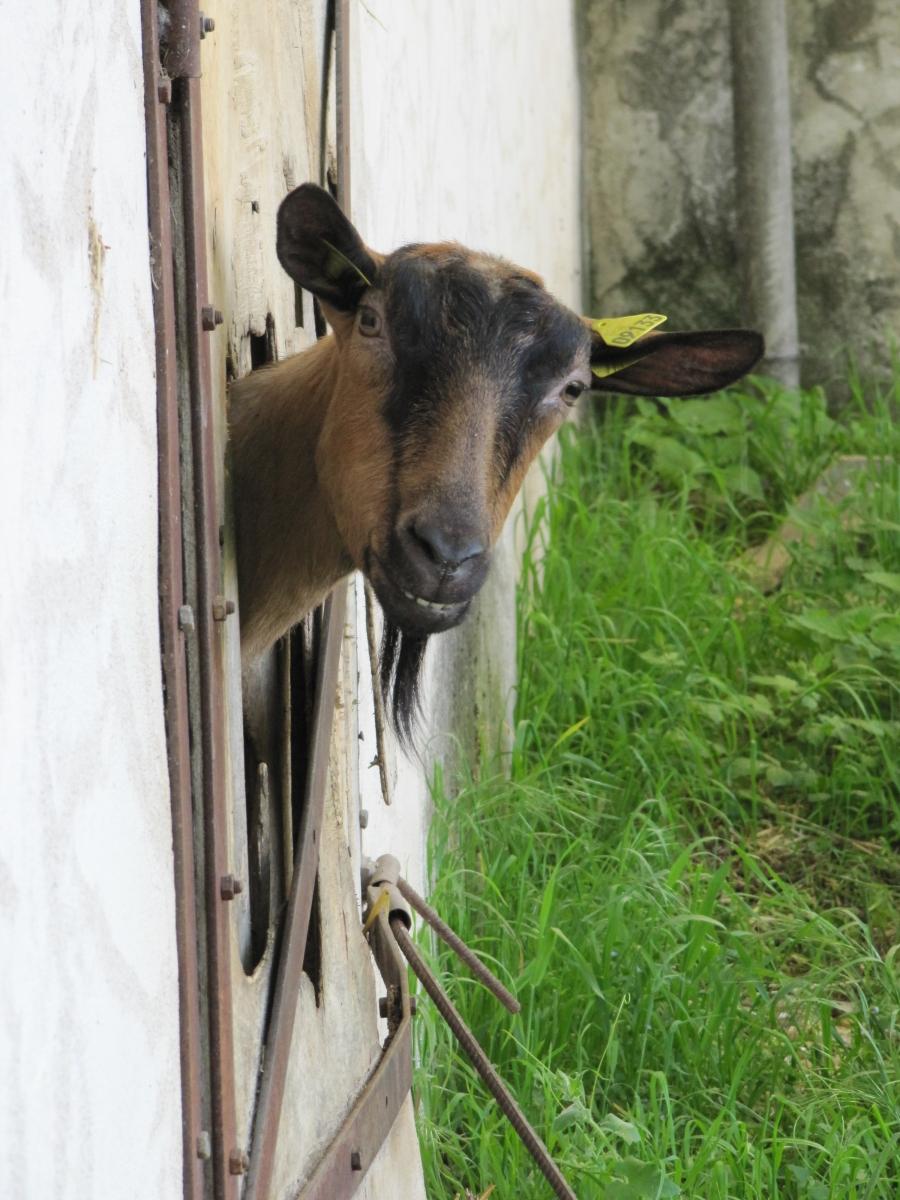 www.mariegraindesel.fr_printps-chèvre