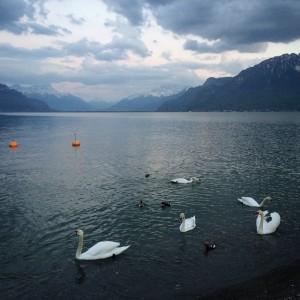 Le lac des cygnes #suisse #Léman #sweiss #swan